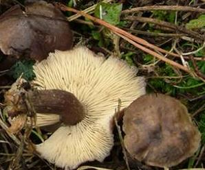 calocybe obscur