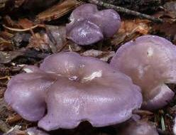 calocybe violet