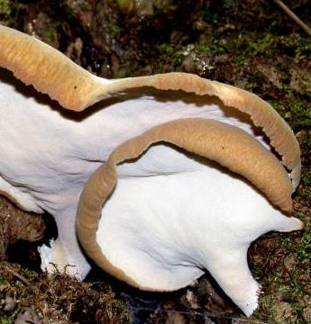 polypore variable